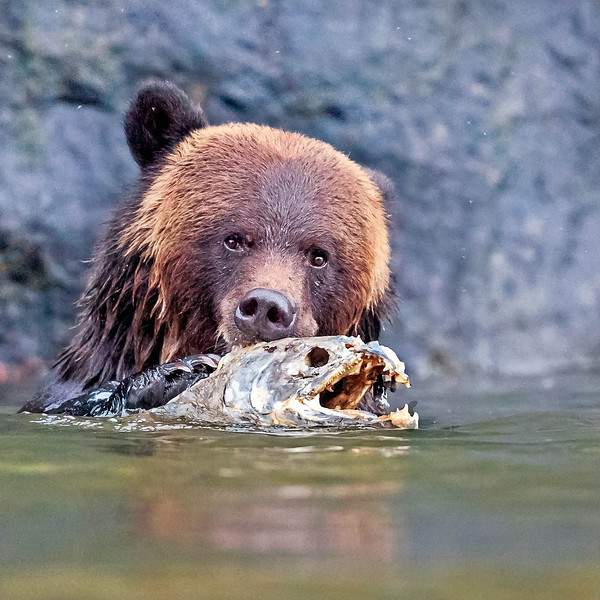 Grizzly eating rotten salmon.