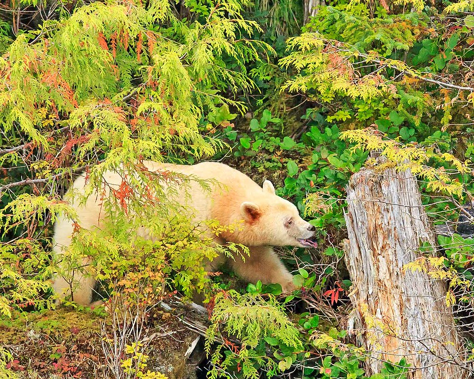 Spirit Bear picking berries with tongue.  British Columbia, Canada.