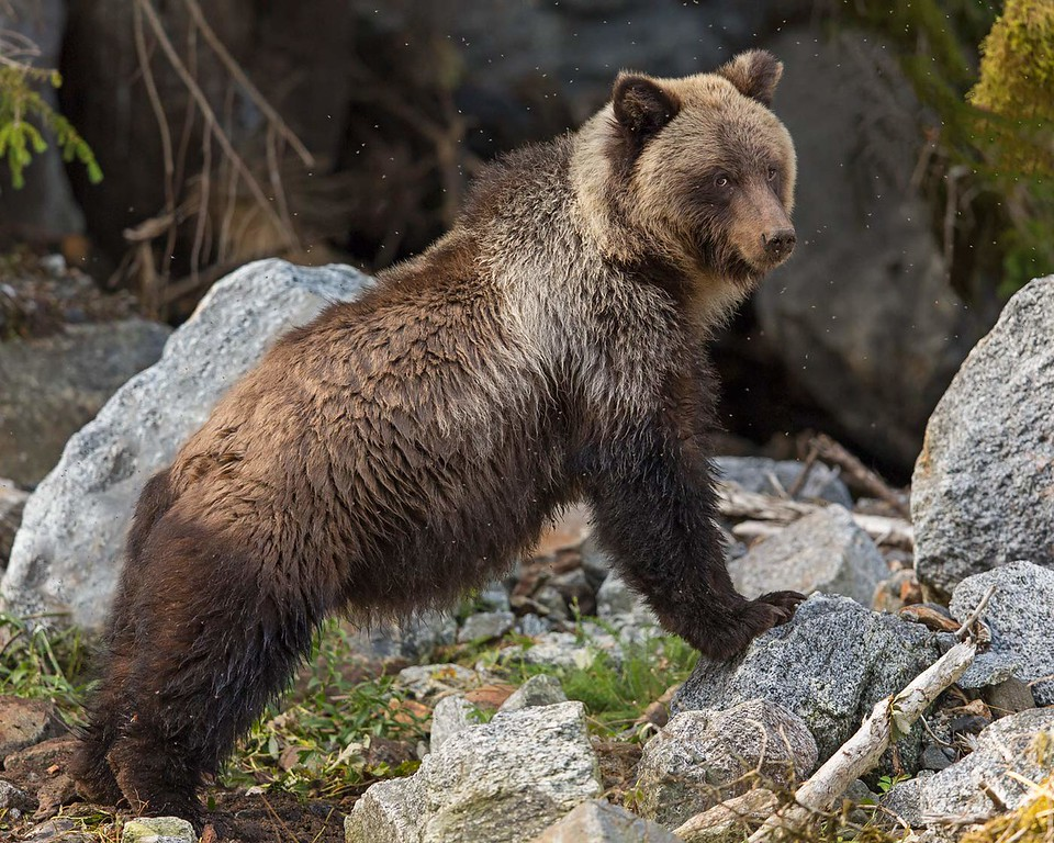 Young Grizzly assuming the pose.
