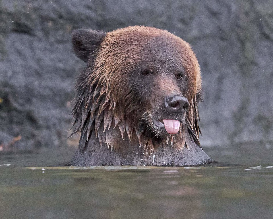Funny grizzly bear.