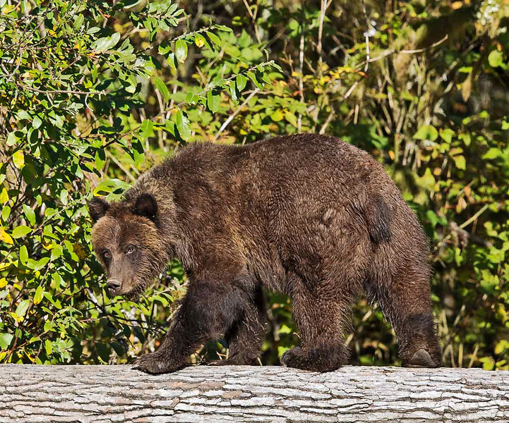 Grizzly bear walking on tree trunk; looks like she is saying:  What are you looking at?