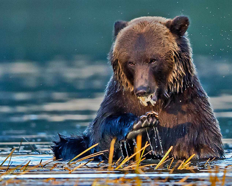 Grizzly bear eating salmon attached by flies.