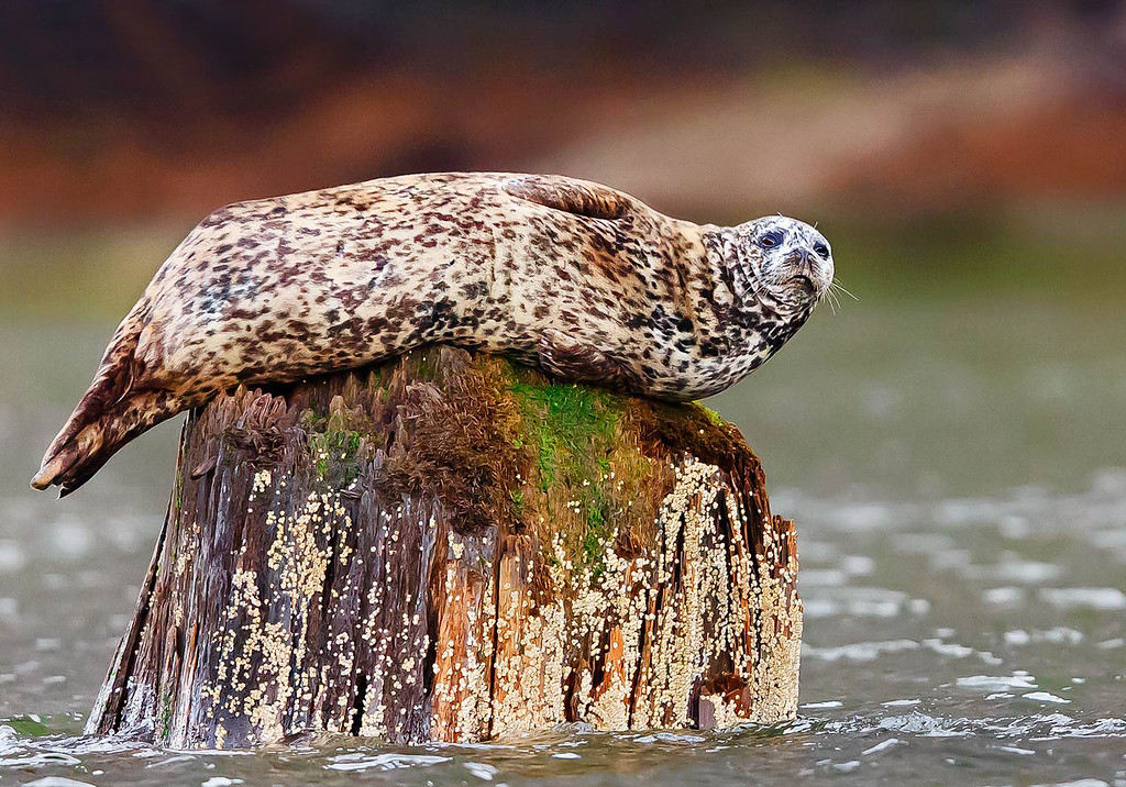 Harbor Seal in old tree stump.  How it got there>