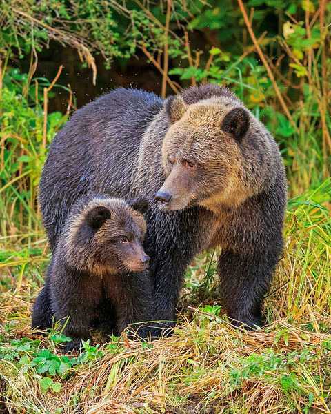 Mother grizzly with cub after emerging from the river.