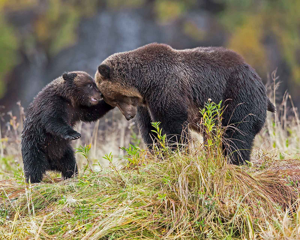 Mother grizzly bear rubbing heads with cub.
