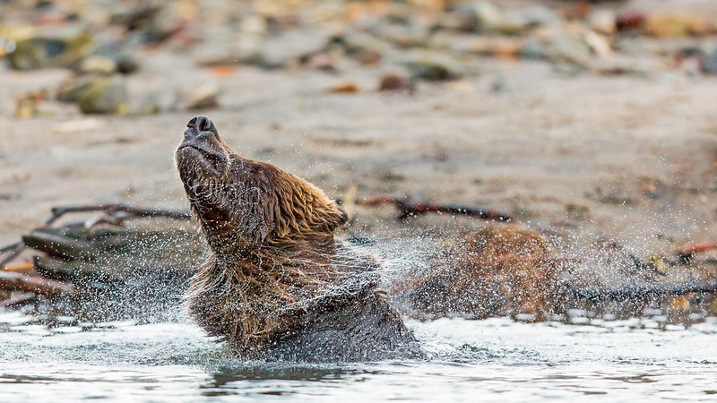 Grizzly shaking off water,