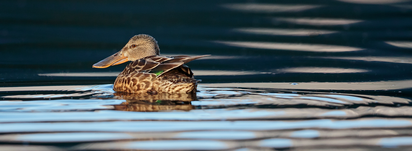 Shoveler in the Mussel River.