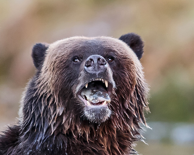 Grizzly bear with piece of salmon in mouth. British Columbia, Canada.