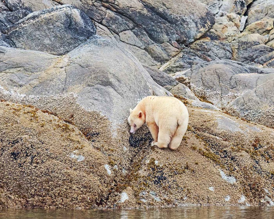 Spirit Bear eating barnacles.