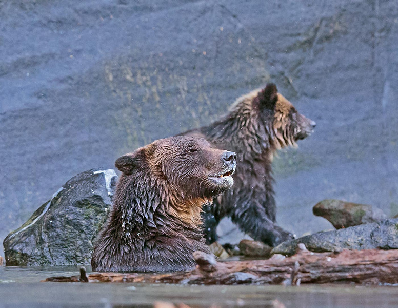 Mother grizzly watching for the other two cubs activities,