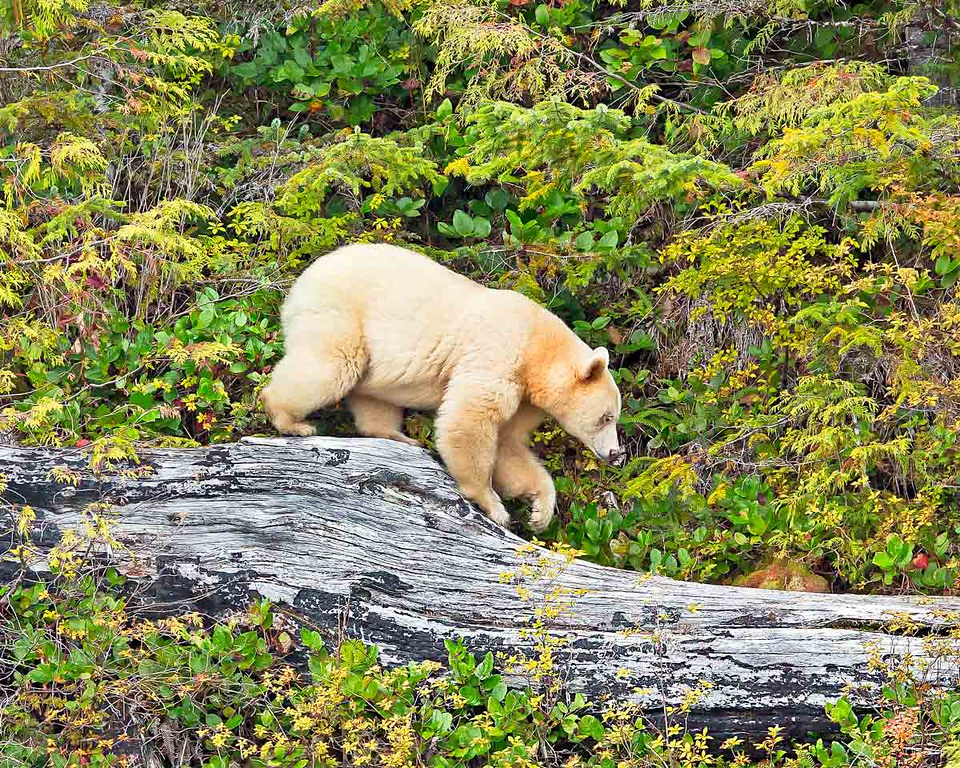 Spirit Bear walking in top a dead tree looking for food.  British Columbia, Canada.
