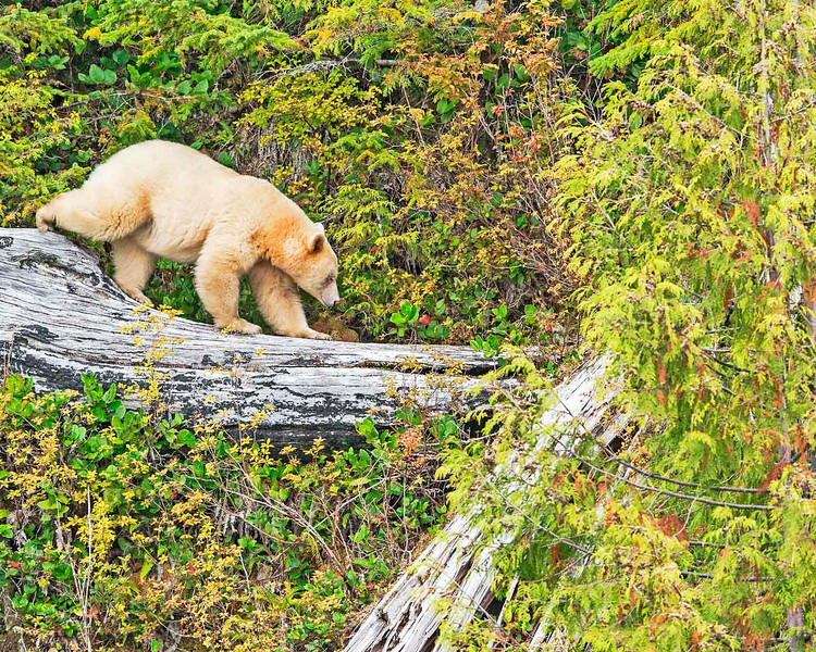 Spirit Bear walking in top a dead tree looking for food. British Columbia, Canada
