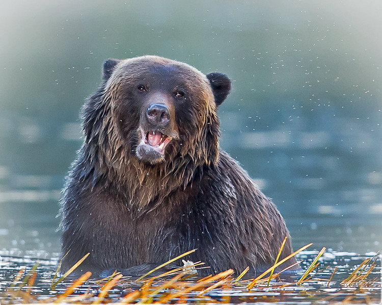 Grizzly bear looking for affection.