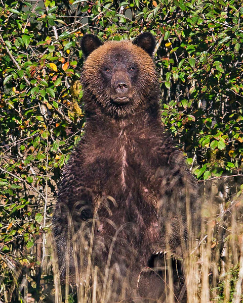 Grizzly Mother watching the photographer.