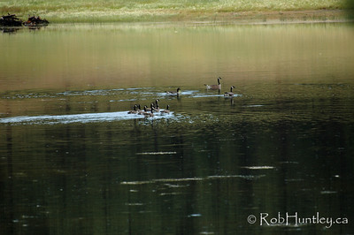 Canada geese on a pond in southern British Columbia.