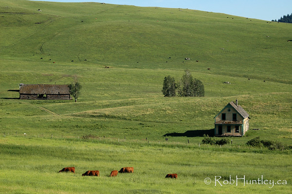 Cattle grazing at an abandoned homestead in southern British Columbia.