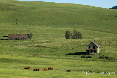 Cattle grazing at an abandoned homestead in southern British Columbia. © Rob Huntley