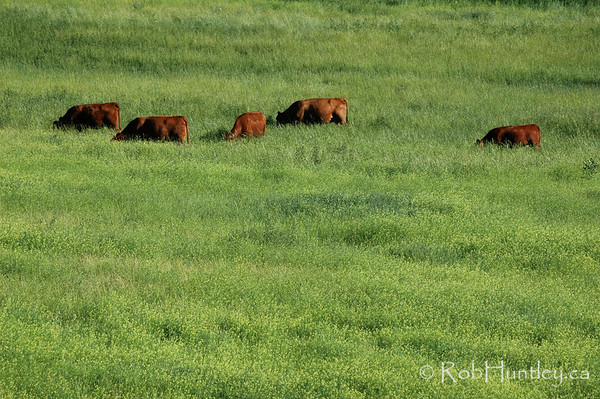 Cattle grazing  in southern British Columbia.