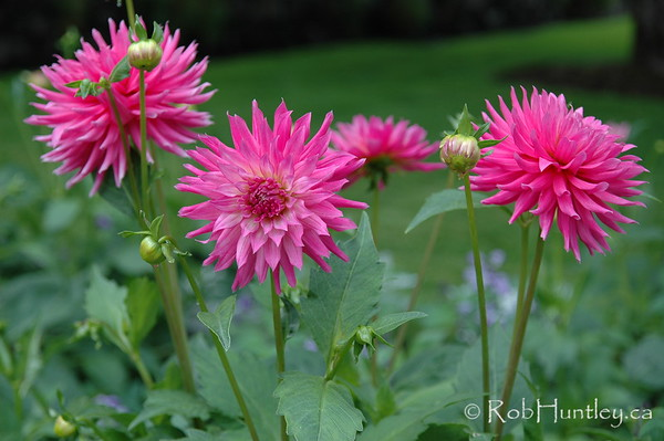 Dahlia display at the Butchart Gardens, Victoria, British Columbia. © Rob Huntley