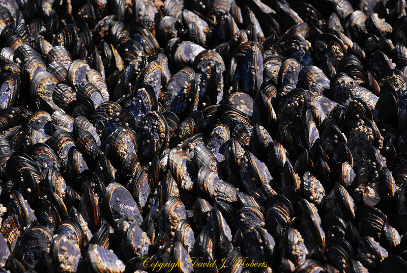 Mussels, Botanical Beach