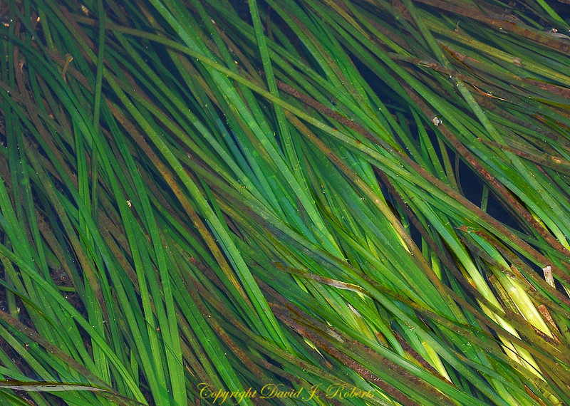 Sea Grass, Botanical Beach