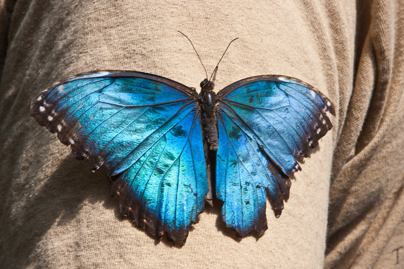 "A Blue Morpho (morpho menelaus) on Dennis' shirt at the  <a href=""http://www.butterflygardens.com/"">Butterfly Gardens</a>, Victoria, BC"