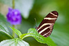 "Zebra (Heliconius charitonia) at the <a href=""http://www.butterflygardens.com/"">Butterfly Gardens</a>, Victoria, BC"