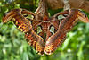 "Two-shot pano of a Giant Atlas Moth (Attacus atlas), the world's largest moth species.This guy was huge! <a href=""http://www.butterflygardens.com/"">Butterfly Gardens</a>, Victoria, BC"