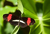 "Postman (Heliconius melphomene) at the <a href=""http://www.butterflygardens.com/"">Butterfly Gardens</a>, Victoria, BC"