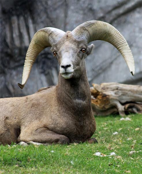 Male Big Horn