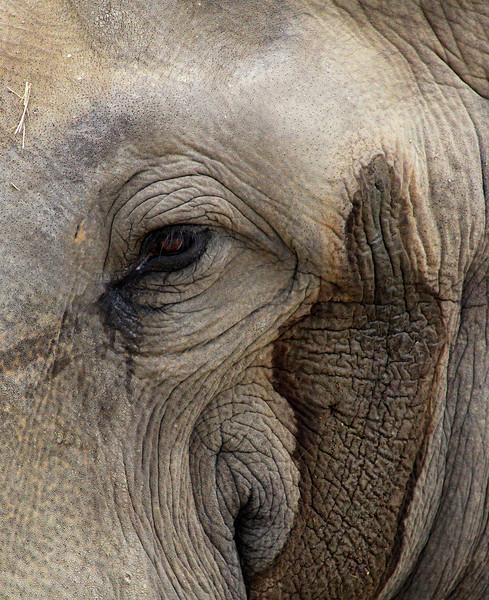 Male elephant going through musk.