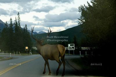 Bull Elk on the Road