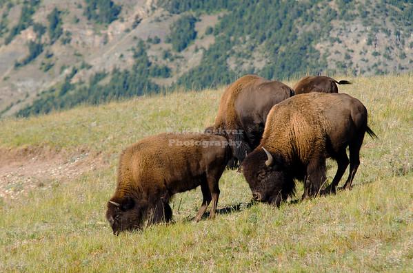 Bisons at Waterton National Park