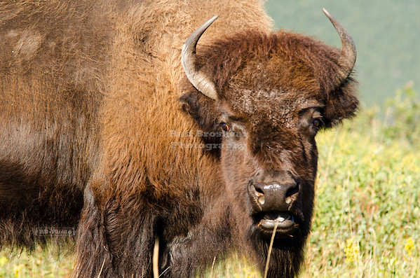 Buffalo in the Bison Paddock of Waterton National Park, Alberta, Canada