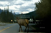 Bull Elk on the Road