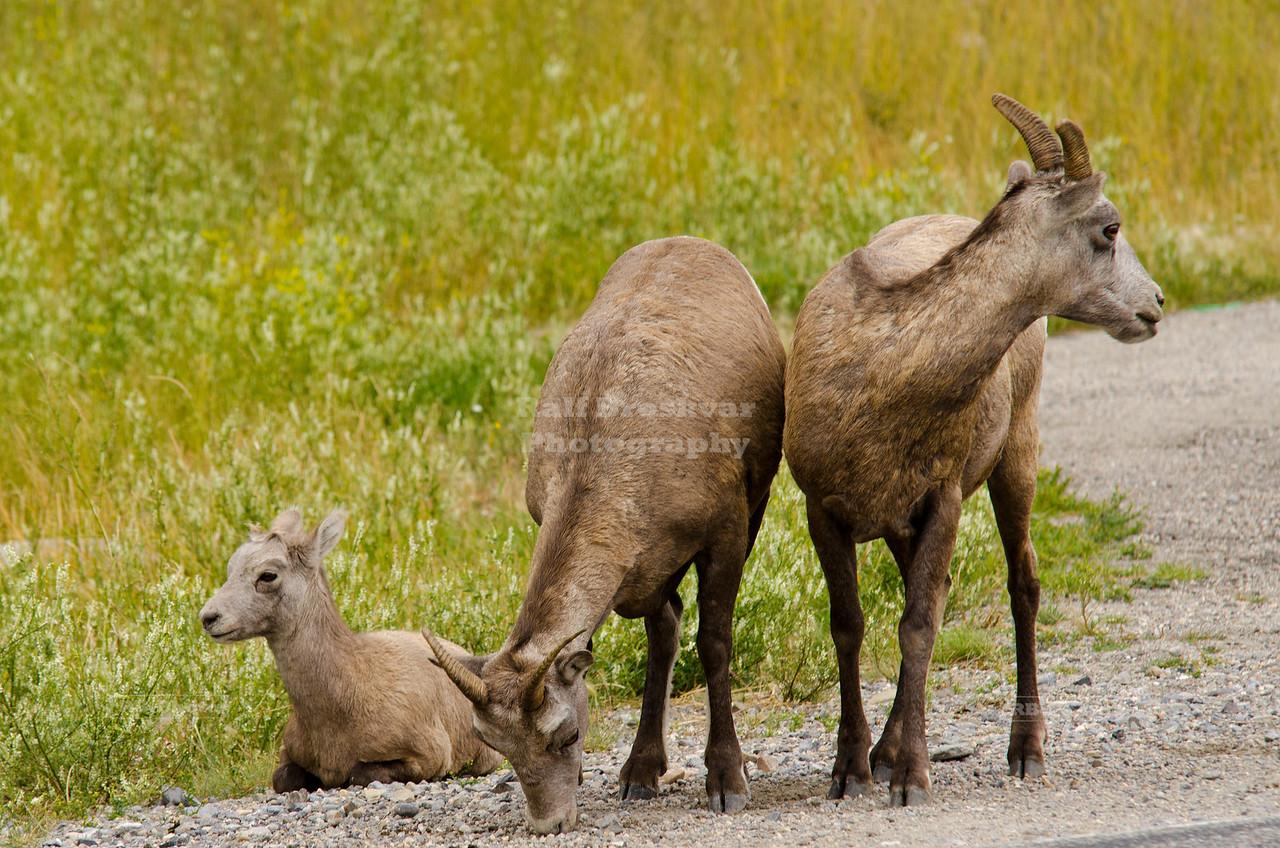 Bighorn Sheep Family in Jasper National Park, Canada