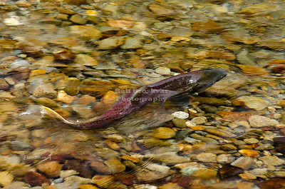 Spawning Chinook Salmon in Swift Creek,
