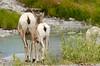 Bighorn Sheep in Jasper National Park, Alberta, Canada