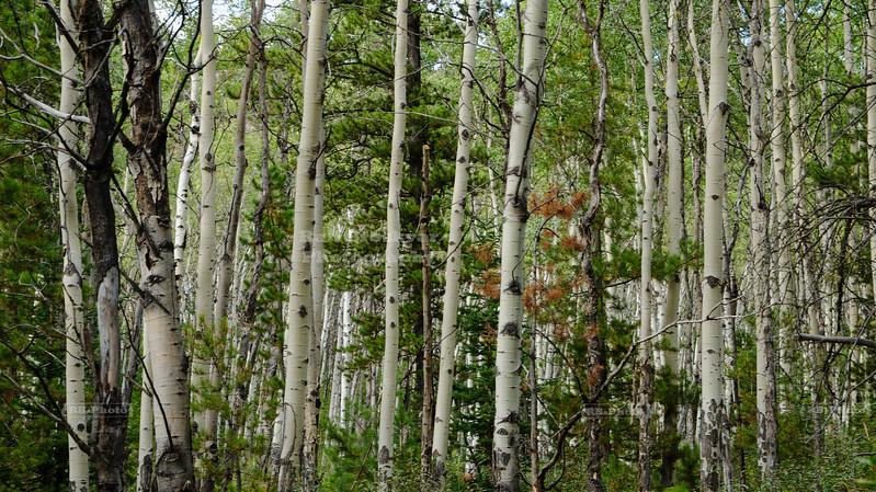 Birch tree Forest in Jasper