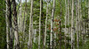 Birch tree Forest in Jasper
