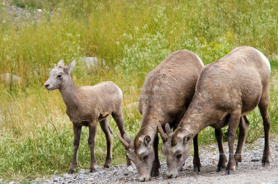 Young Bighorn Sheep Family
