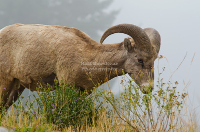 Bighorn Sheep in Golden, British Columbia, Canada