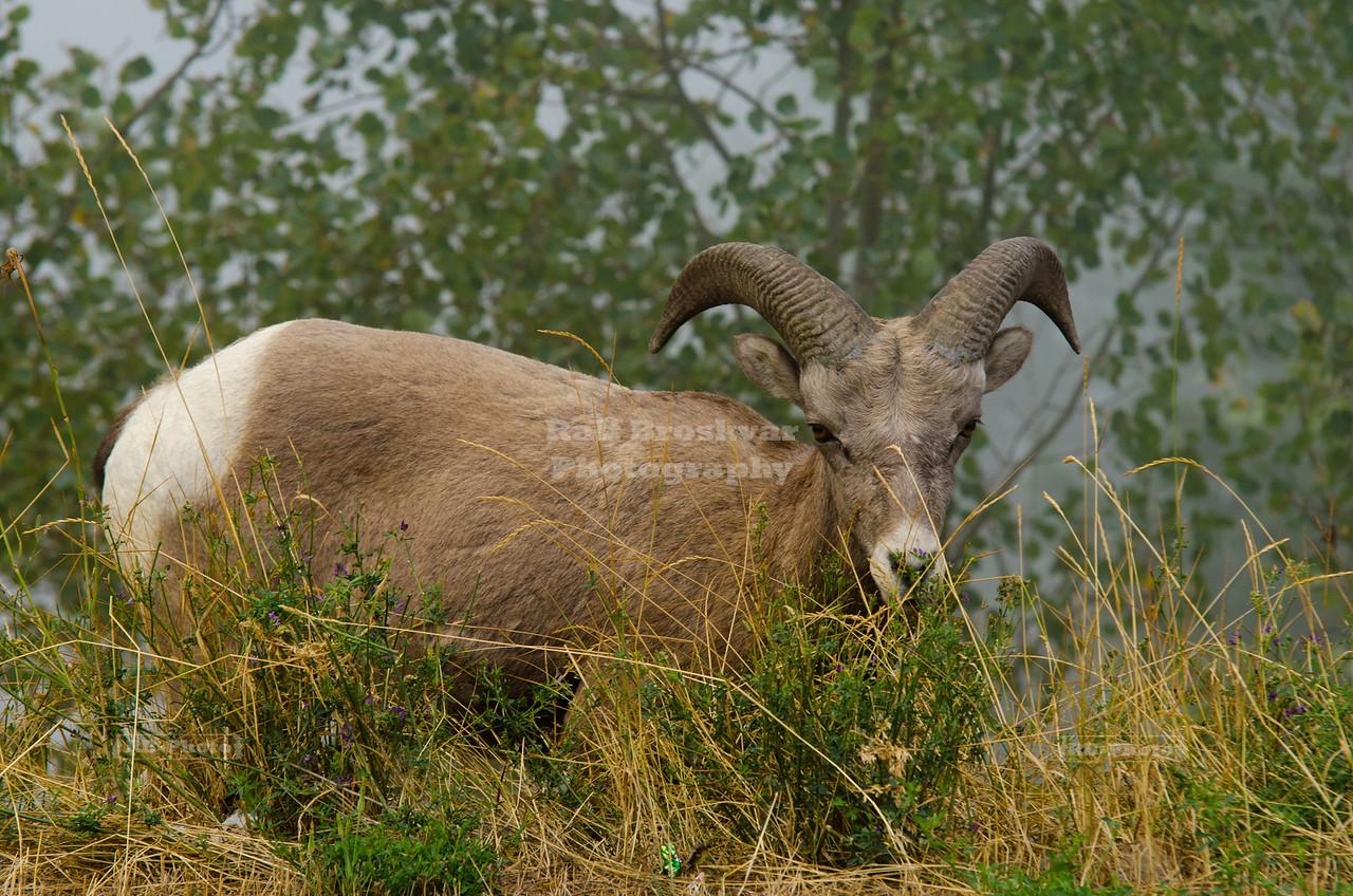 Bighorn Sheep in Golden, British Columbia, Canada