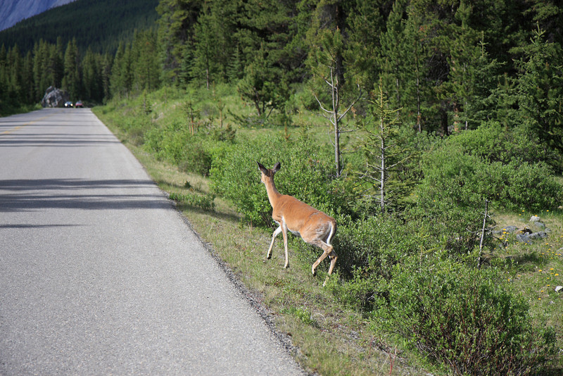 Deer spoted on Maligne Lake Road