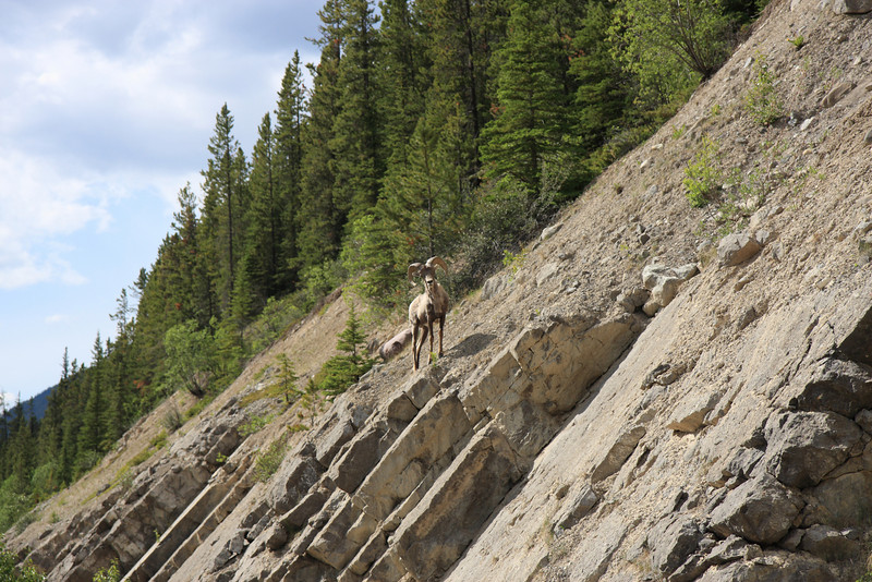 Mountain Goat spoted on Maligne Lake Road