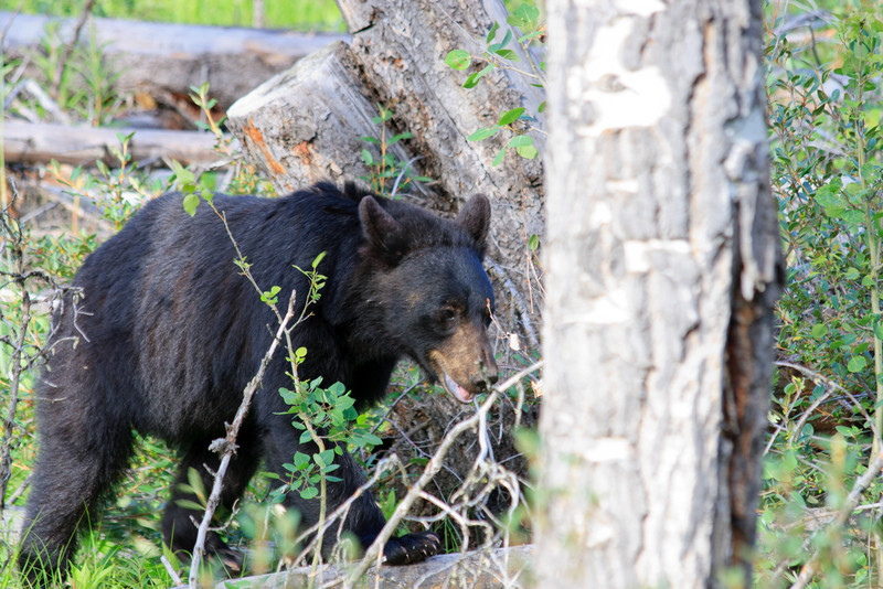 Bear on Bow Valley Parkway