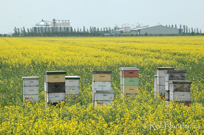 "Bee hives in a canola field in southern Manitoba.  © 2006 Rob Huntley  Not for sale on this website. It is a ""similar"" to a photo which you may License on Getty Images."