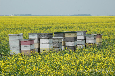 Bee hives in a canola field in southern Manitoba.