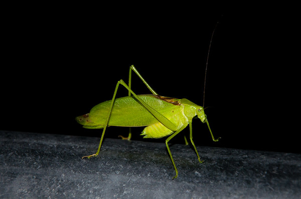 Katydid. Each species has its own repetitive song, which is produced only at night.