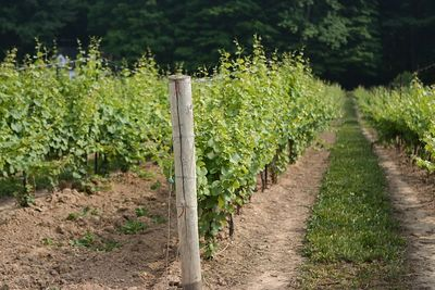 Rows of grape vines.